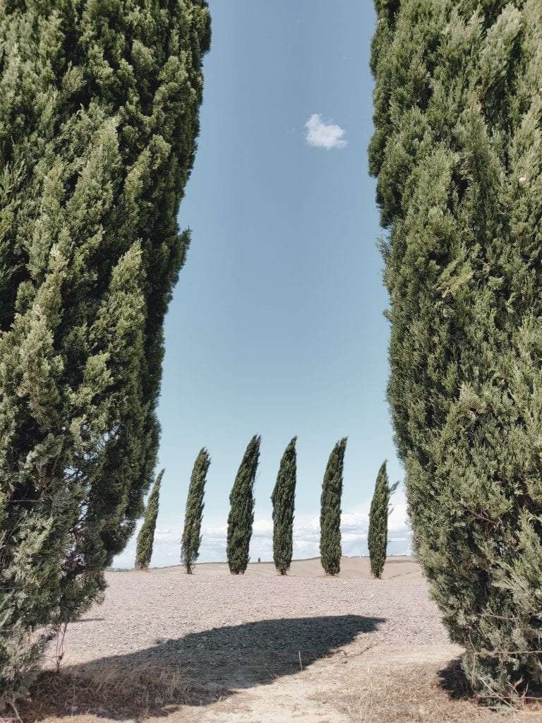 Tuscan cypresses in a typical tuscan landscape.